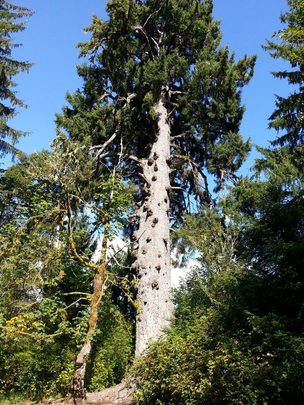 Massive Sitka Spruce tree
